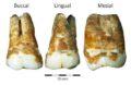 Верхние и нижние моляры из пещеры Манот, возрастом 38 000 лет © Dr. Racheli Sarig