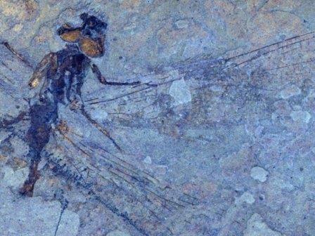 Останки стрекозы вида Ypshna brownleei © S. Archibald, R. Cannings