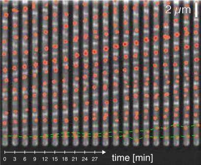 Клеточный цикл начинается и заканчивается запуском репликации ДНК (показано на фото красными точками) © Biozentrum, University of Basel