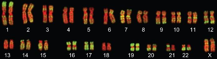 Флуоресцентная гибридизация in situ хромосом человека (контрастированы красным) с зондами к Alu-повторам (зелёный) © Bolzer et al.