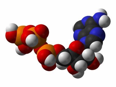 Молекула аденозинтрифосфата © Wikimedia Commons