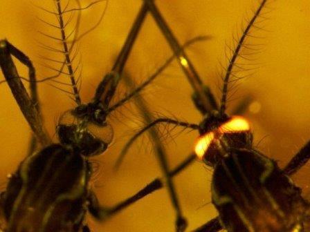 Наряду с геном, кодирующим иммунный белок, исследователи также вставили комарам ген, заставляющий их глаза светиться © CSIRO