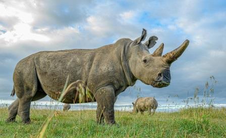 Северный белый носорог © Ami Vitale