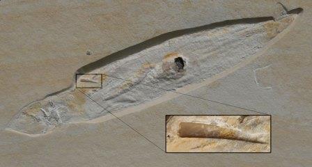 Окаменелость кальмара Plesioteuthis с четким следом зуба птерозавра, застрявшего в его мантии © René Hoffmann et al., 2020