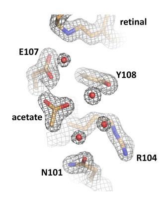 Карты электронной плотности высокого качества определяют наличие аниона ацетата в активном центре гелиородопсина 48С12. Изображение предоставлено авторами исследования