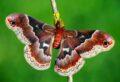 Callosamia promethea © Adam Gor