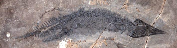 Ископаемый талаттозавр Gunakadeit joseeae, найденный на юго-востоке Аляски © University of Alaska Museum of the North