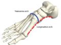 У человеческих ног есть две арки, которые помогают людям ходить прямо. Одна арка проходит вдоль внутренней части стопы (красная пунктирная линия), а другая, поперечная лапка, пересекает верхнюю часть стопы (сплошная синяя линия) © M. Venkadesan