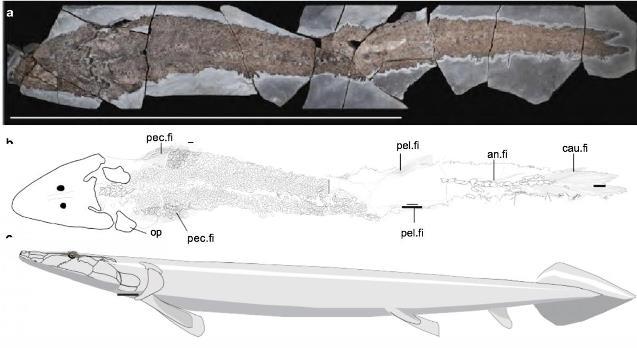 Окаменелый скелет рыбы Elpistostege © Richard Cloutier et al./Nature