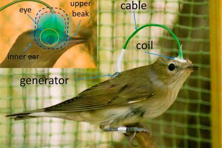 Садовая камышевка с прикрепленным прибором © Julia Bojarinova et al./ Scientific Reports