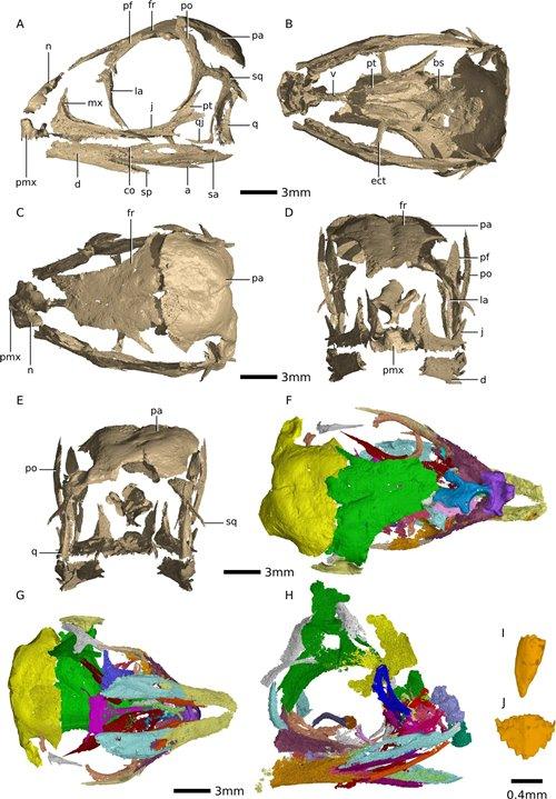 Цифровая реконструкция эмбриональных черепов Massospondylus carinatus © Kimberley E. J. Chapelle et al./Scientific Reports, 2020