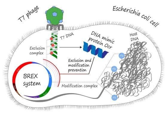 Белок Ocr бактериофага Т7 мимикрирует под ДНК, «обманывая» систему BREX у кишечной палочки © Павел Одинев / Пресс-служба Сколтеха