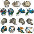 Виртуальные реконструкции детёнышей Australopithecus afarensis: DIK-1-1 из Дикики (A-G) и A.L. 333-105 из Хадара (H-O)