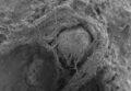 Снимок на сканирующем электронном микроскопе показывает крупный план волокон, которые неандертальцы скручивали в нить еще 52 000 лет назад. Длина древнего фрагмента составляет около 6,2 миллиметра. © M.-H. Moncel