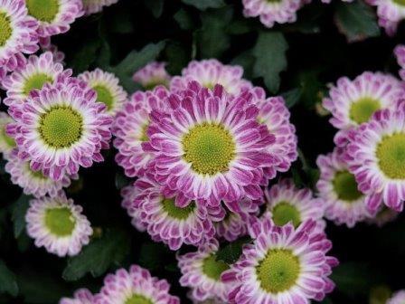 Хризантема садовая © Pixabay