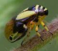 Clastoptera proteus © Marjorie Melnick