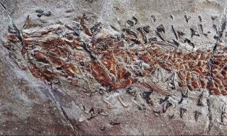 Изображение показывает поврежденные голову и тело Dorsetichthys bechei с зажатыми вокруг него щупальцами Clarkeiteuthis montefiorei © Malcolm Hart, Proceedings of the Geologists' Association