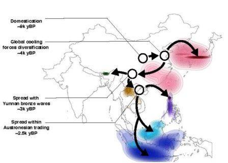 Распространение риса связали с древней климатической катастрофой