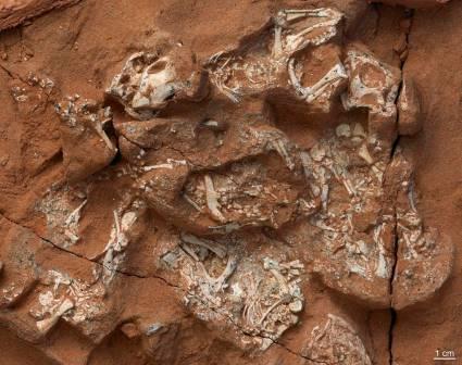 Сохранившиеся в окаменелостях скелеты зародышей протоцератопсов © M. Ellison/American Museum of Natural History