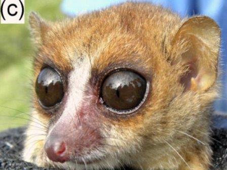 Microcebus jonahi Stephen D. Nash / IUCN SSC Primate Specialist Group / D. Schüßler