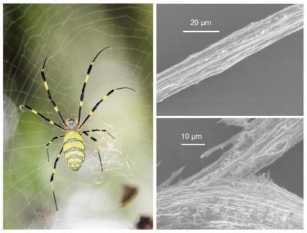 Паук Nephila (слева) и шелковые волокна, вырабатываемые фотосинтетическими бактериями (вверху / внизу справа) © Choon Pin Foong et al./ Communications Biology, 2020