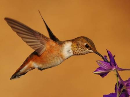 Охристый колибри © Greatblue1