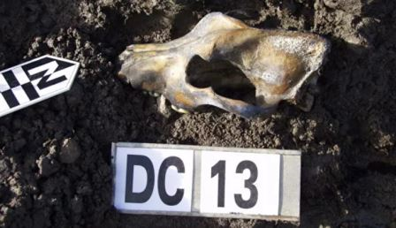 Выяснилось, что ездовые собаки произошли от предка, обитавшего в Сибири 9500 лет назад