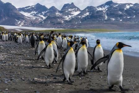Императорский пингвин — самый крупный и тяжелый из современных видов семейства пингвиновых / © Getty Images