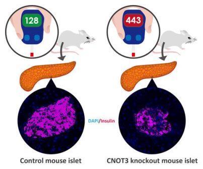 У мышей, лишенных CNOT3 в бета-клетках поджелудочной железы, меньше инсулин-продуцирующих клеток, что приводит к диабету © OIST
