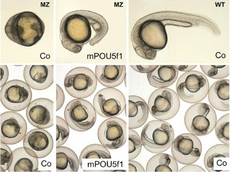 Эмбрионы данио-рерио ©Onichtchouk et al.