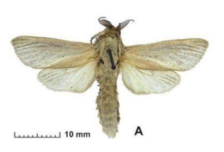 Phragmataecia effendii