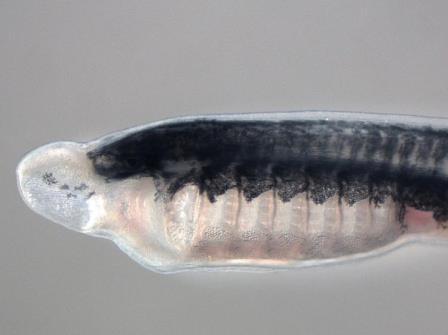 Трехмесячная личинка морской миноги с отредактированным геномом © David Jandzik