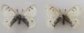Новый подвид аполлона арктического Parnassius arcticus arbugaevi / CC BY 4.0/ Dr Roman V. Yakovlev /
