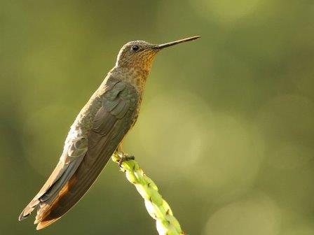 Исполинская колибри © Pablo Caceres Contreras