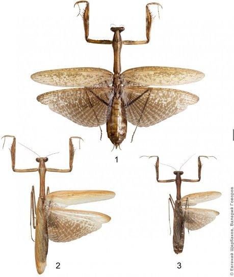 Богомол видаStatilia maculata Thnb © Евгений Щербаков, МГУ