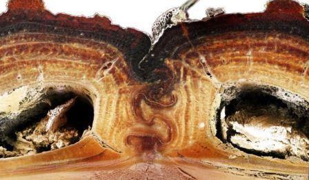 Надкрылья Nosoderma diabolicum в разрезе © Jesus Rivera/UCI