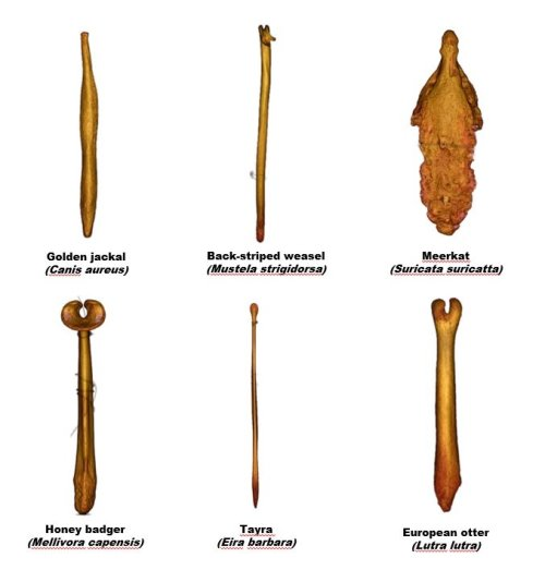 Кости пениса разных животных © Brassey et al., /Proceedings of the Royal Society B, 2020