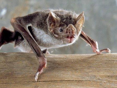 Обыкновенный вампир (Desmodus rotundus) © Uwe Schmidt