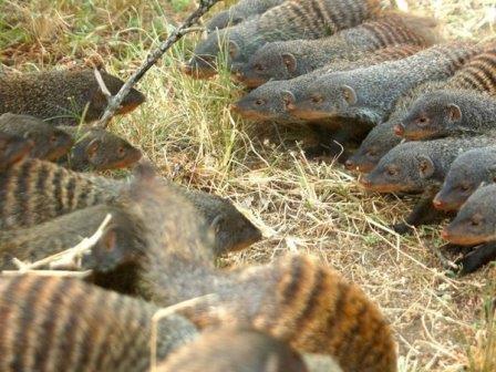 Встреча двух стай полосатых мангустов © Dave Seager/Banded Mongoose Research Project
