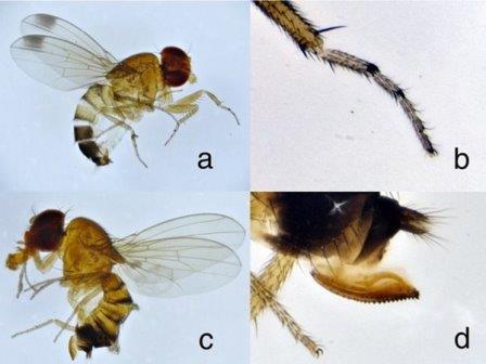 Плодовые мушки дрозофилы сузуки, собранные в Сочи: (a) самец с характерными темными пятнами на крыльях; (b) передняя лапка самца; (c) самка;(d) пильчатый яйцеклад самки © Andrzej O. Bieńkowski et al./Insects, 2020