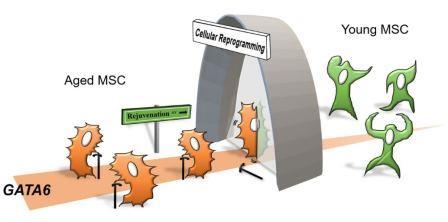 С помощью клеточного репрограммирования старые МСК омолаживаются, а влияние GATA6 уменьшается ©AlphaMed Press