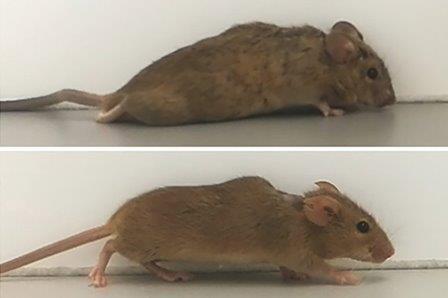 Через две-три недели после введения «дизайнерского» белка парализованные мыши начали ходить © Рурский университет