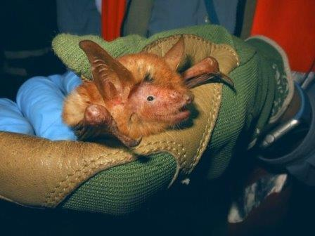 Myotis nimbaensis © Bat Conservation International