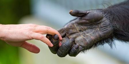 Кисть человека и ближайшего родственника – шимпанзе © Getty images