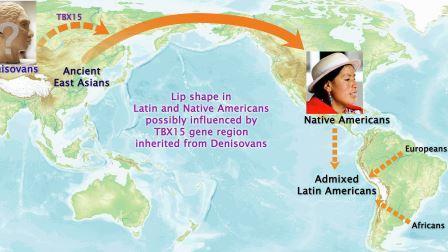 Ученые определили, что гены из области TBX15, унаследованные от денисовцев, определяют форму губ у американских индейцев © UCL, Aix-Marseille University and The Open University research team