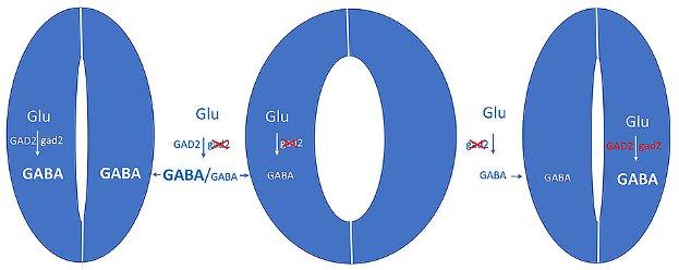 Во время засухи вырабатывается сигнальная молекула ГАМК, которая препятствует открытию пор листа (слева). Если фермент GAD2, который превращает глутамат в ГАМК, выключен генетически, поры остаются открытыми даже во время засухи - растения теряют больше воды (в центре). Если ген GAD2 повторно вводится в закрывающиеся клетки, дефект устраняется. Эксперимент показывает, что клетки сфинктера автономно воспринимают стресс и реагируют на него выработкой ГАМК. © Rainer Hedrich / Universität Würzburg