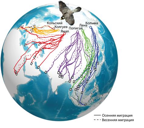 Как влияет изменение климата на миграционные пути и места гнездовий соколов-сапсанов