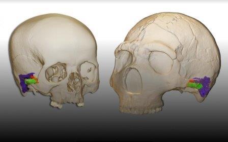 3D-модель и виртуальная реконструкция уха овременного человека (слева) и неандертальца Амуд 1 (справа) © Mercedes Conde-Valverde