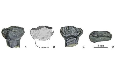 Зубы стегозавров, найденные на местонахождении у ручья Тээтэ (Республика Саха), в разных плоскостях © Pavel Skutschas et al. / PLoS One, 2021