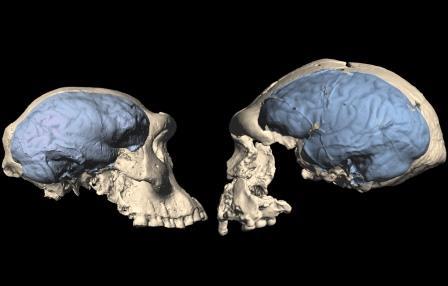 Слева — реконструированный череп и мозг дманисийца, справа — человека со стоянки Сангиран в Индонезии © Ponce de León., Zollikofer, UZH